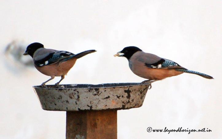 Black-headed Jay (Garrulus lanceolatus)