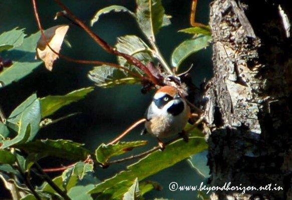 Black-throated Tit (Aegithalos concinnus)
