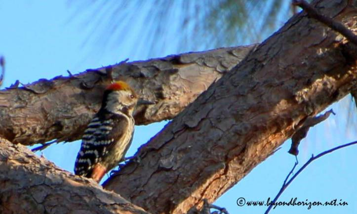 Brown-fronted Woodpecker (Dendrocopos auriceps)