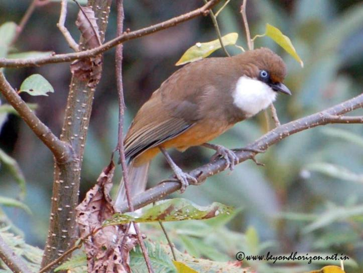 White-throated laughingthrush (Garrulax albogularis)