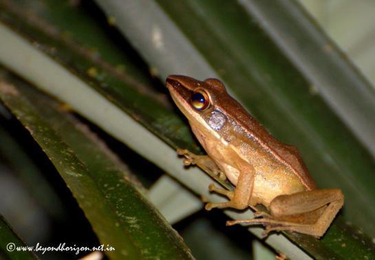 Agumbe_Bronze frog (Hylarana temporalis)
