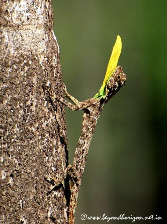 Agumbe_Draco