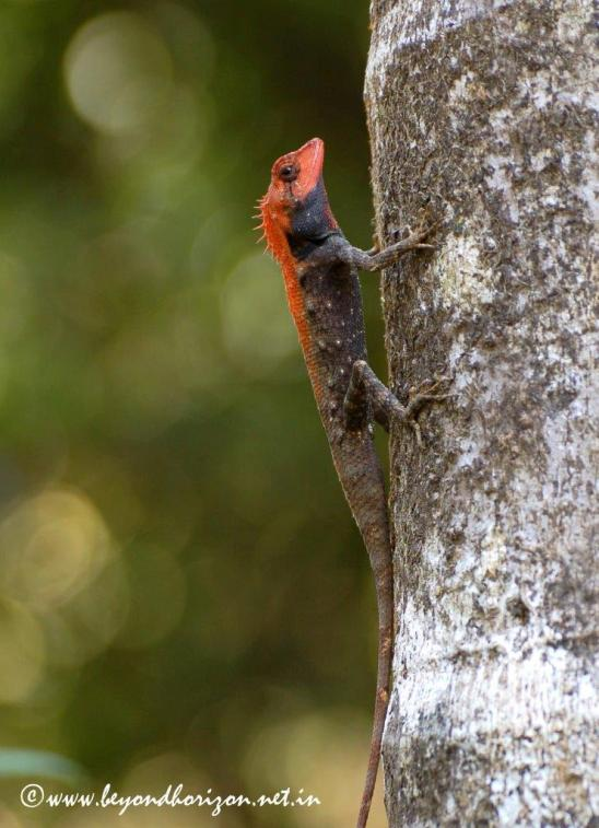 AgumbeForest Calotes-Calotes rouxi