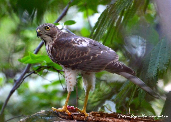 Besra Sparrowhawk (Accipiter virgatus)