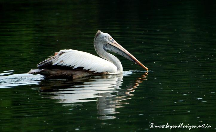 Spot-billed Pelican(Pelecanus philippensis)
